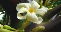 5. Bunga pepaya