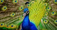 8. Pasang bulu burung merak
