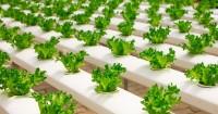 4. Menanam sayuran organik