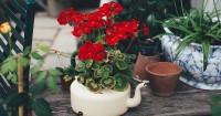 6. Geranium pu warna indah mampu usir nyamuk