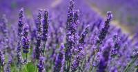 3. Lavender cocok dijadikan parfum sebelum tidur
