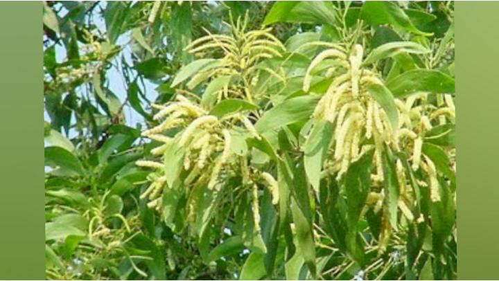 5. Sperma berbau seperti daun akasia