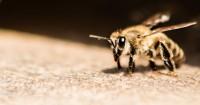 5.Mengobati sengatan lebah