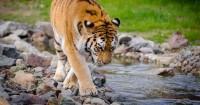 3. Harimau Sumatera