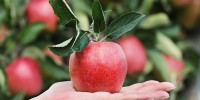 4. Apel merahmampu memperlancar sistem pencernaan tubuh menjadi lebih baik