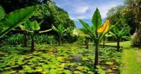 5. Tanaman pisang air