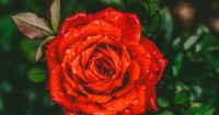3. Gliserin air mawar
