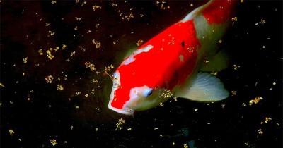 5 Keuntungan Memiliki Kolam Ikan Sekitar Rumah