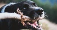 2. Ciri-ciri terjadi infeksi setelah digigit anjing
