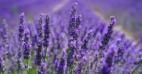 9. Lavender