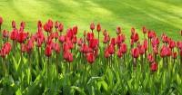 5. Tulip