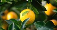 5. Lemon