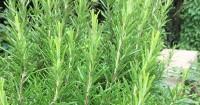 10. Rosemary jadi tanaman herbal melindungi rumah dari nyamuk