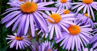 5. Aster