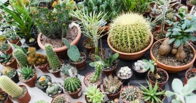 5 Tips Merawat Tanaman Kaktus Hias agar Tak Cepat Mati
