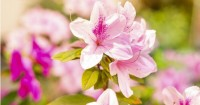 3. Bunga azalea mampumenyerap berbagai polutan udara