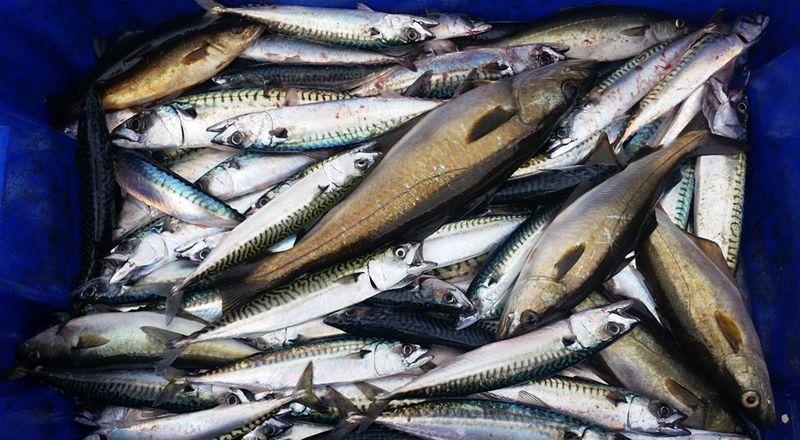 4. Ikan kembung lebih bergizi dari ikan salmon