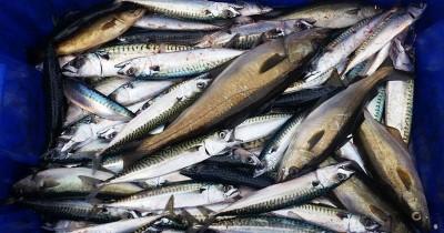 Manfaat Baik Ikan Makarel Untuk Bayi