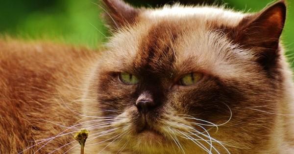 7 Cara Merawat Kucing Persia Agar Bersih Dan Sehat Popmama Com