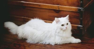 7 Tips Cara Merawat Kucing Persia agar Jauh dari Penyakit Kutu