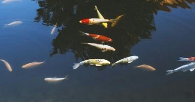 5 Cara Membuat Kolam Ikan Sederhana Budget Murah