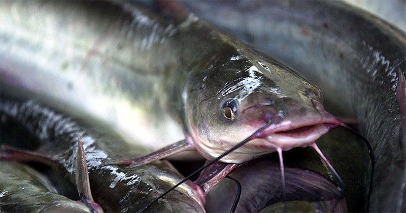 1. Ikan lele mengandung 10 nutrisi baik