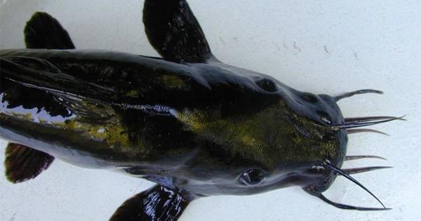 Ikan Lele Untuk Ibu Hamil Bolehkah Dikonsumsi Popmama Com