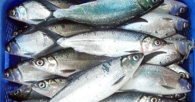 Bisa Jadi MPASI, Ini Manfaat Ikan Bandeng Bayi