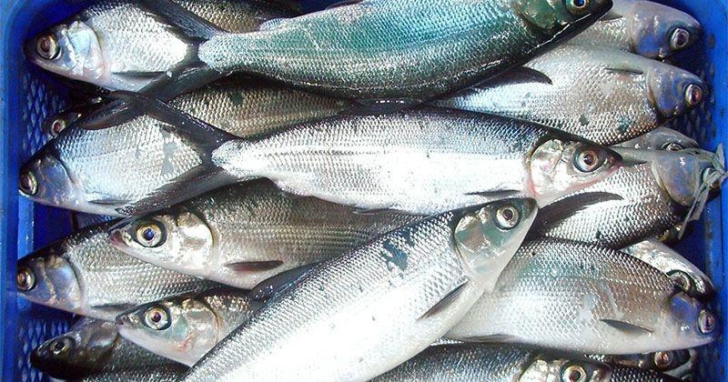 Jenis Ikan Bandeng