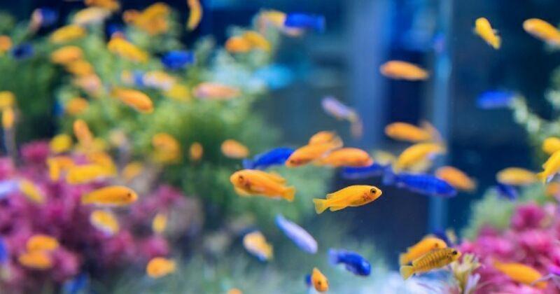 Jenis Ikan Gambar Hias Bermotif Hewan 9 Ikan Hias Air Tawar Yang Mudah Dipelihara Anak Popmama Com