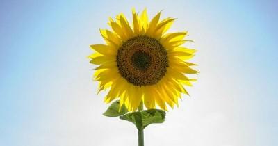 5 Cara Menanam Bunga Matahari Bisa Kamu Praktikan Rumah