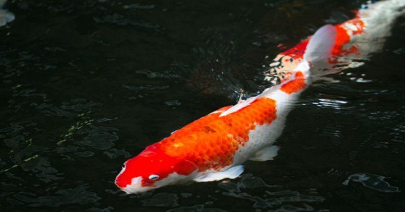 5. Ikan mas koki
