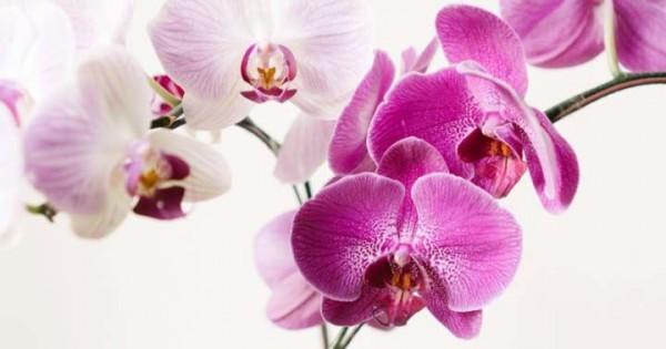 7 Bunga Anggrek Favorit Untuk Percantik Rumah Popmama Com