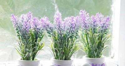 Indah Banyak Manfaat, Inilah 5 Cara Menanam Bunga Lavender Pot