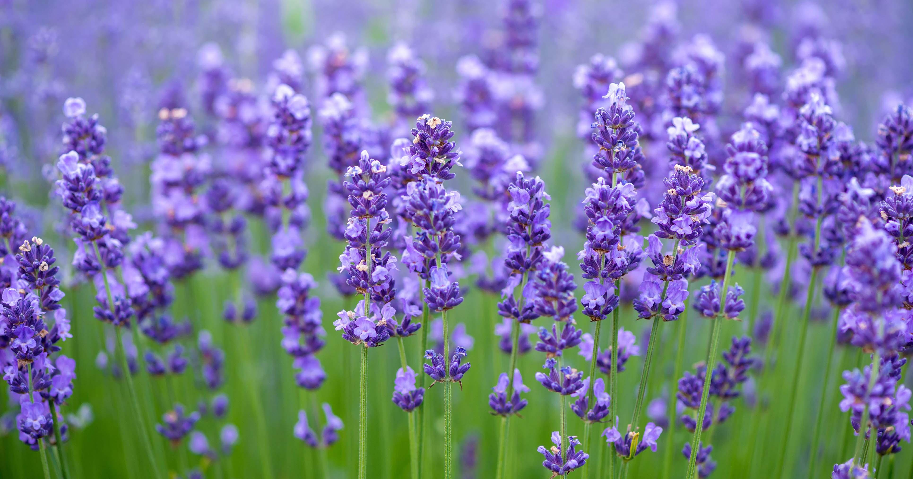 meadow of lavender nature composition selective royalty free image 539988160 1533825462 307606d656d5d53227ae28f44999c679 - Menanam Bunga Lavender di Pot
