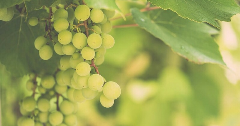 1. Cotton candy grapes memiliki rasa seperti gula kapas