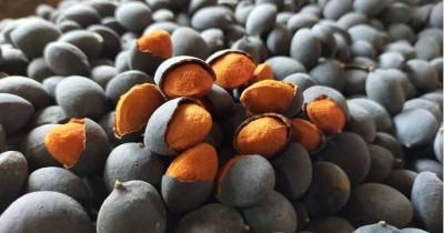 Manfaat Sehat Asam Keranji, Salah Satu Kurangi Kadar Kolesterol