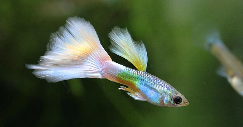 3. Ikan guppy