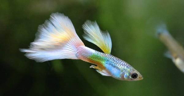 9 Jenis Ikan Hias Air Tawar Mudah Dipelihara Anak Popmama Com