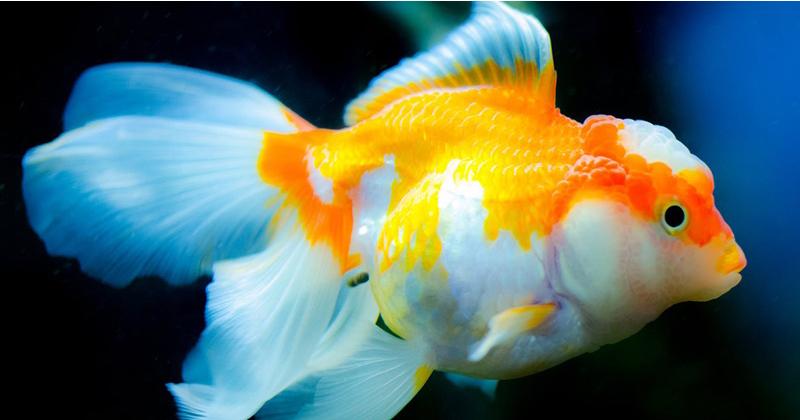 6. Ikan louhan