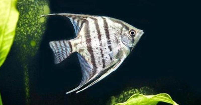 7. Ikan manfish