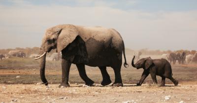 Mitos atau Fakta Gajah Takut Hewan Lebih Kecil Darinya