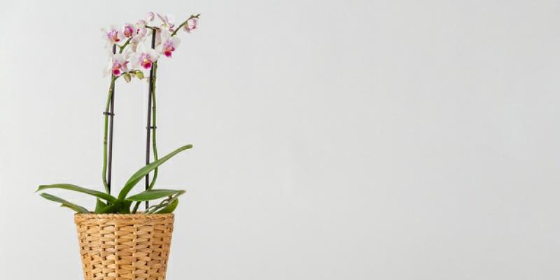 1. Bunga anggrek dipercaya meningkatkan kesehatan pernapasan