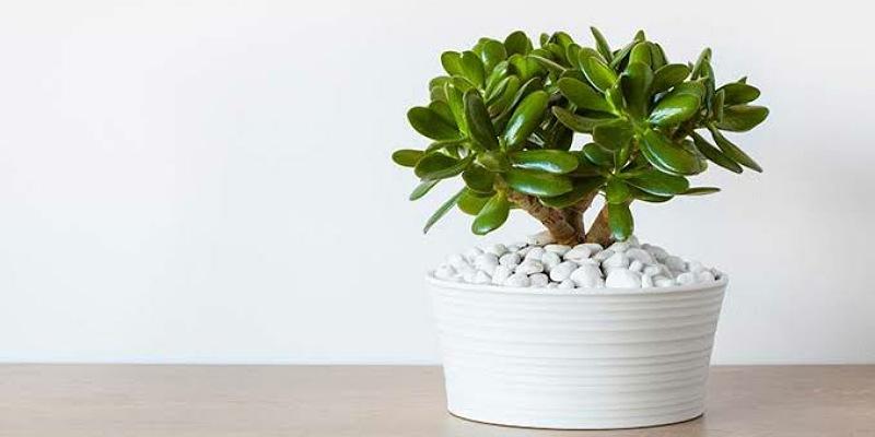 2. Jade plant dapat menghilangkan aseton ruangan