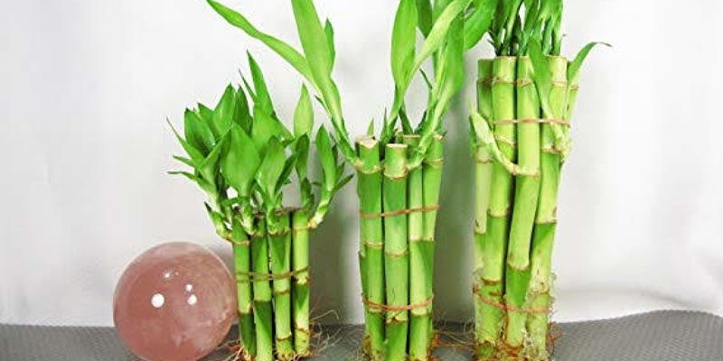 4. Tanaman bambu hias dapat membawa energi positif