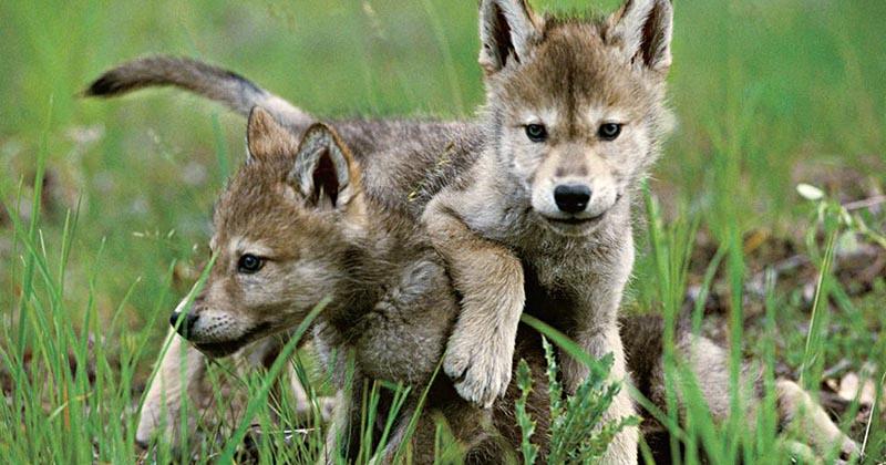 2. Kisah serigala beriman kepada Rasulullah