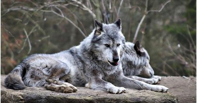 Ceritakan Anak, Ini 5 Alasan Kenapa Serigala Susah Dijinakkan