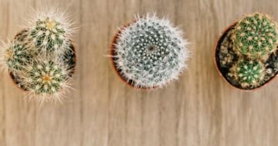 Sangat Beragam, Inilah 5 Jenis Kaktus Bisa Ditanam Rumah
