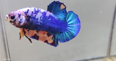 Yuk Pelihara Ikan Cupang, Cek Jenis-Jenis Ikan Cupang Sini Ma