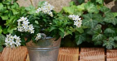 Sangat Indah 5 Jenis Bunga Melati Ini Paling Populer Dunia